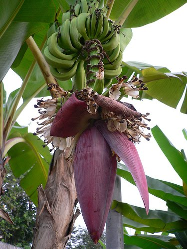Bunga Pisang Yang Berada Pada Jantung Pisang Mengandung Saponin Yang Berfungsi Untuk Menurunkan : bunga, pisang, berada, jantung, mengandung, saponin, berfungsi, untuk, menurunkan, Manfaat, Jantung, Pisang, Untuk, Kesehatan, Secercah