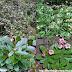 Ô rô đất - Pipsissewa - Ground Holly