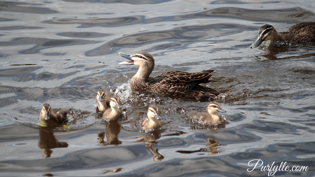 Pacific black duck with her ducklings spots a rival duck coming to steal her ducklings