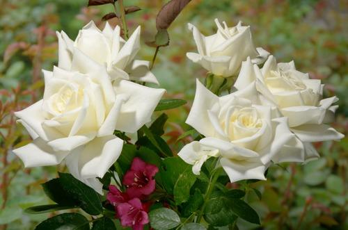 Pascali роза сорт фото