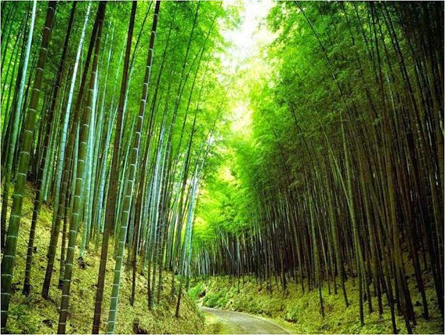 Resultado de imagem para Bambu, maravilha de Deus.
