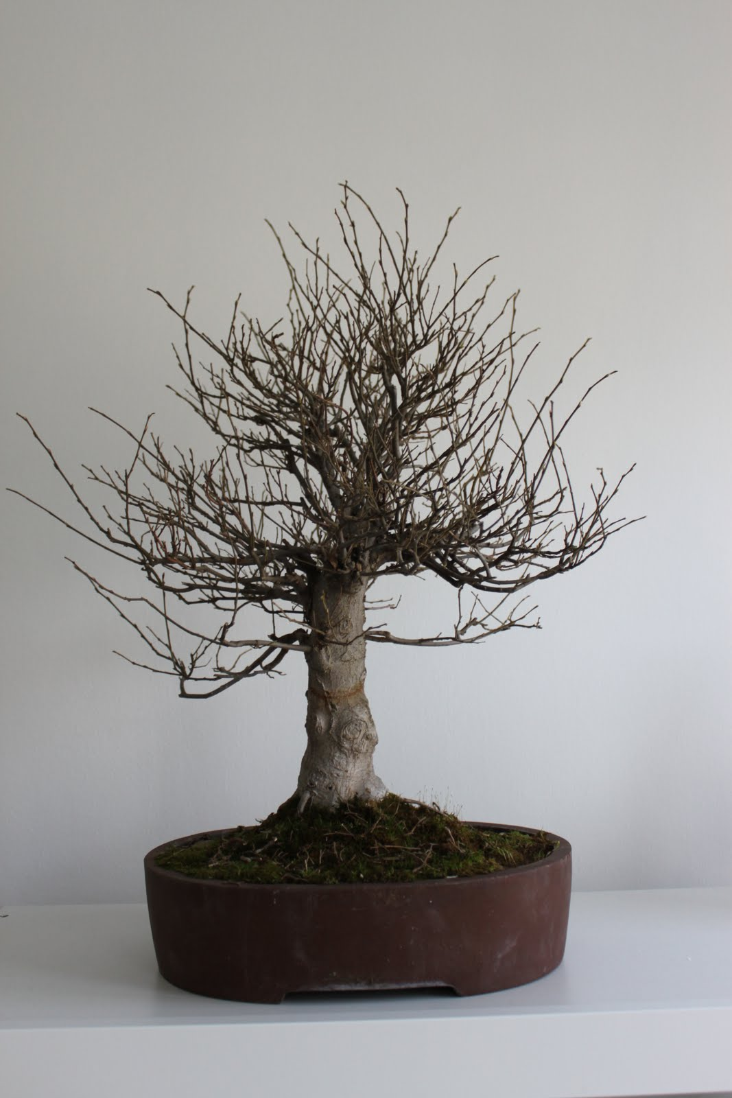 New Celtis Sinensis Tree Kenneth Olsens Bonsai Blog Wiring Lesson Front Of Before Any Work Was Done Will Be Changed Slightly