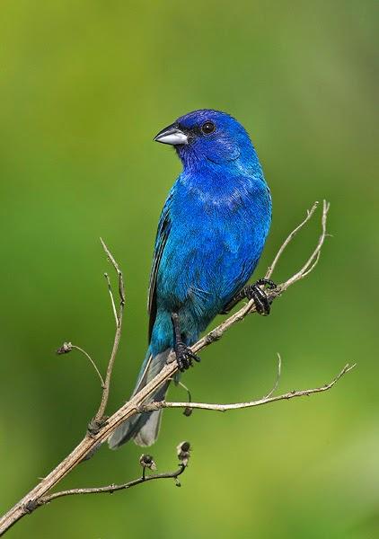 Bellas Aves de El Salvador Passerina cyanea azulejo