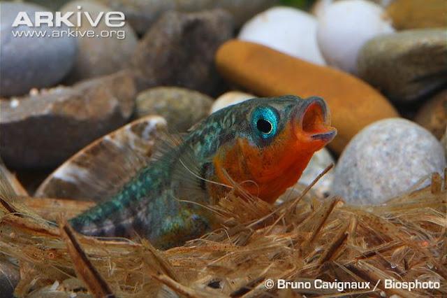 Foto de um Gasterosteus aculeatus macho, peixe também conhecido como esgana-gata, cuidando do ninho.