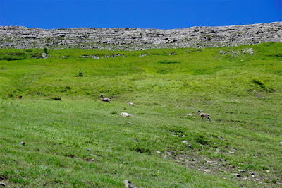 Bighorn sheep on Hailstone Butte