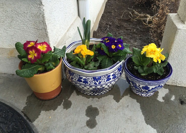 Potted Primroses // WWW.THEJOYBLOG.NET