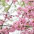 Cherry Blossoms at Tidal Basin, Washington, D.C.