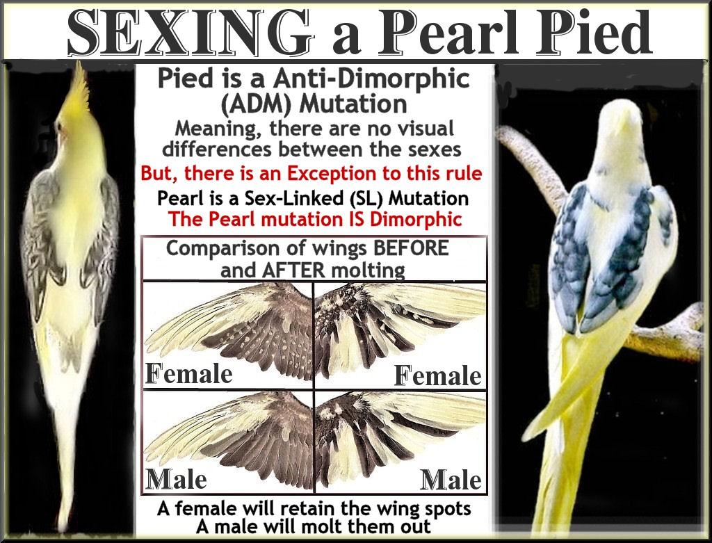 How to sex a cockatiel Nude Photos 5
