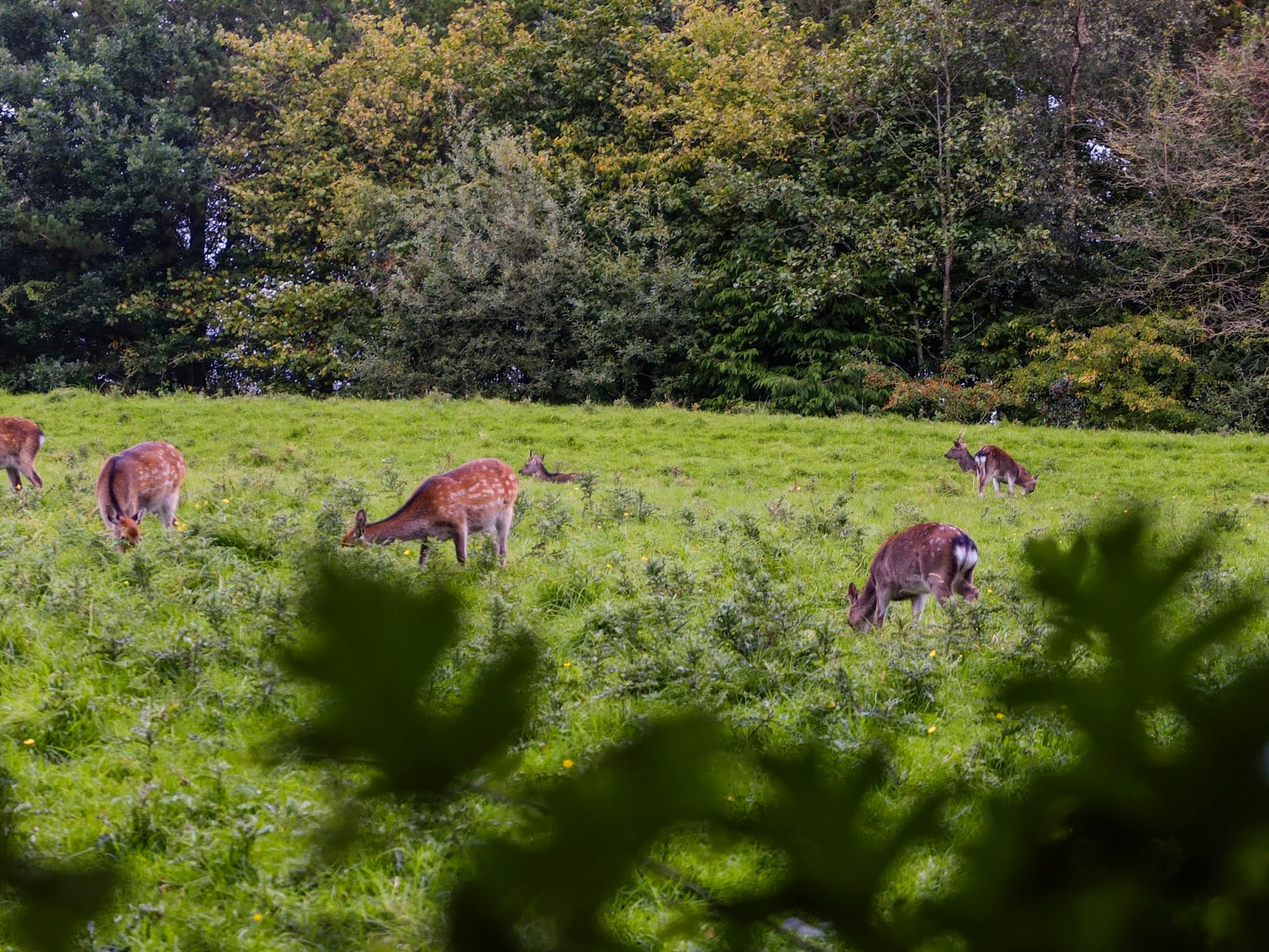 A view of does in a field captured behind trees in the Doneraile Wildlife Park.