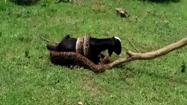 صادم...ثعبان عملاق يحاول ابتلاع عنزة ولكنها تنجو بمعجزة من الموت