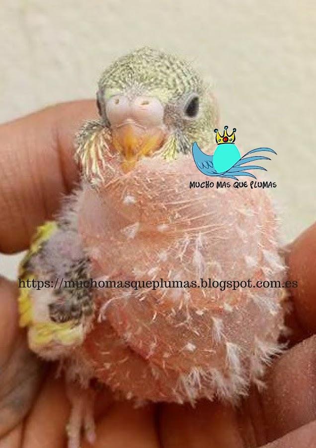 ruptura de sacos aereos en aves, 9 sacos aéreos, ruptura saco aereo cervical