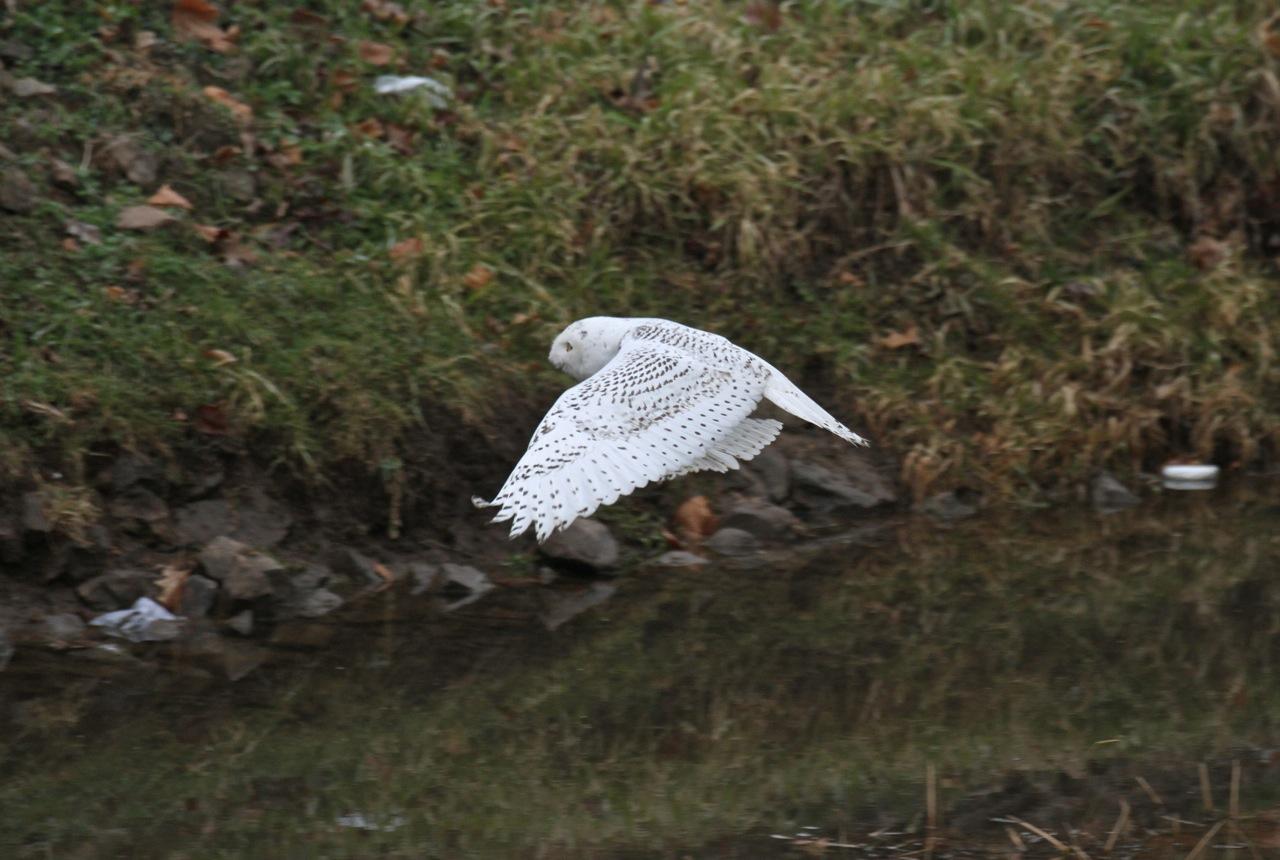Julie Zickefoose on Blogspot: Parkersburg\'s Snowy Owl