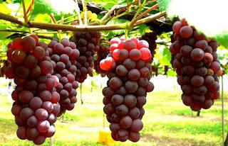 manfaat anggur untuk kesehatan