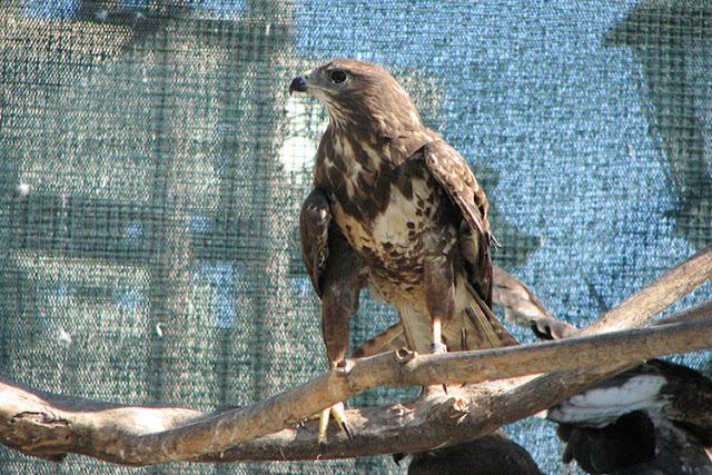Απελευθέρωση άγριων πουλιών στον Ταυγέτο