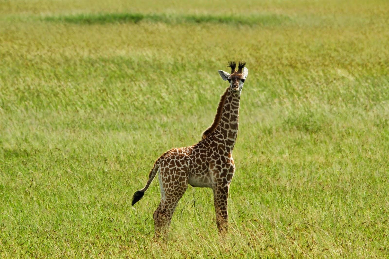 Ver GIRAFAS NO SERENGETI e testemunhar as maravilhas estes animais encantadores | Tanzânia
