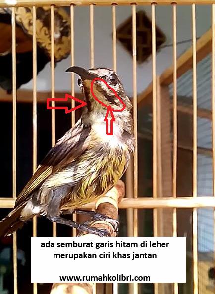 Perbedaan jantan betina burung kolap free music download. Cara Membedakan Jantan Betina King Konin Yang Masih Ijo