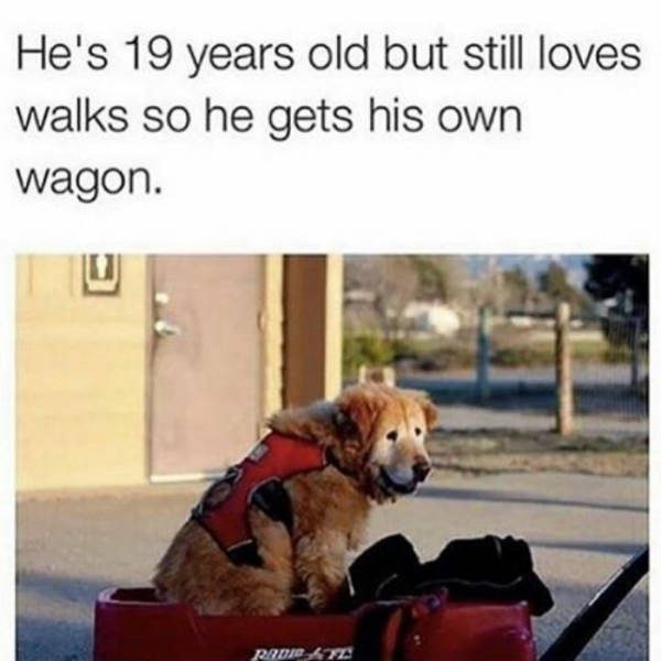 He's 19 years old but still loves walks so he gets his own wagon