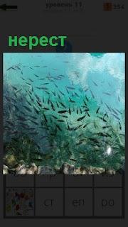 В водоеме показан как рыбы идут на нерест большой стаей, в очень большом количестве