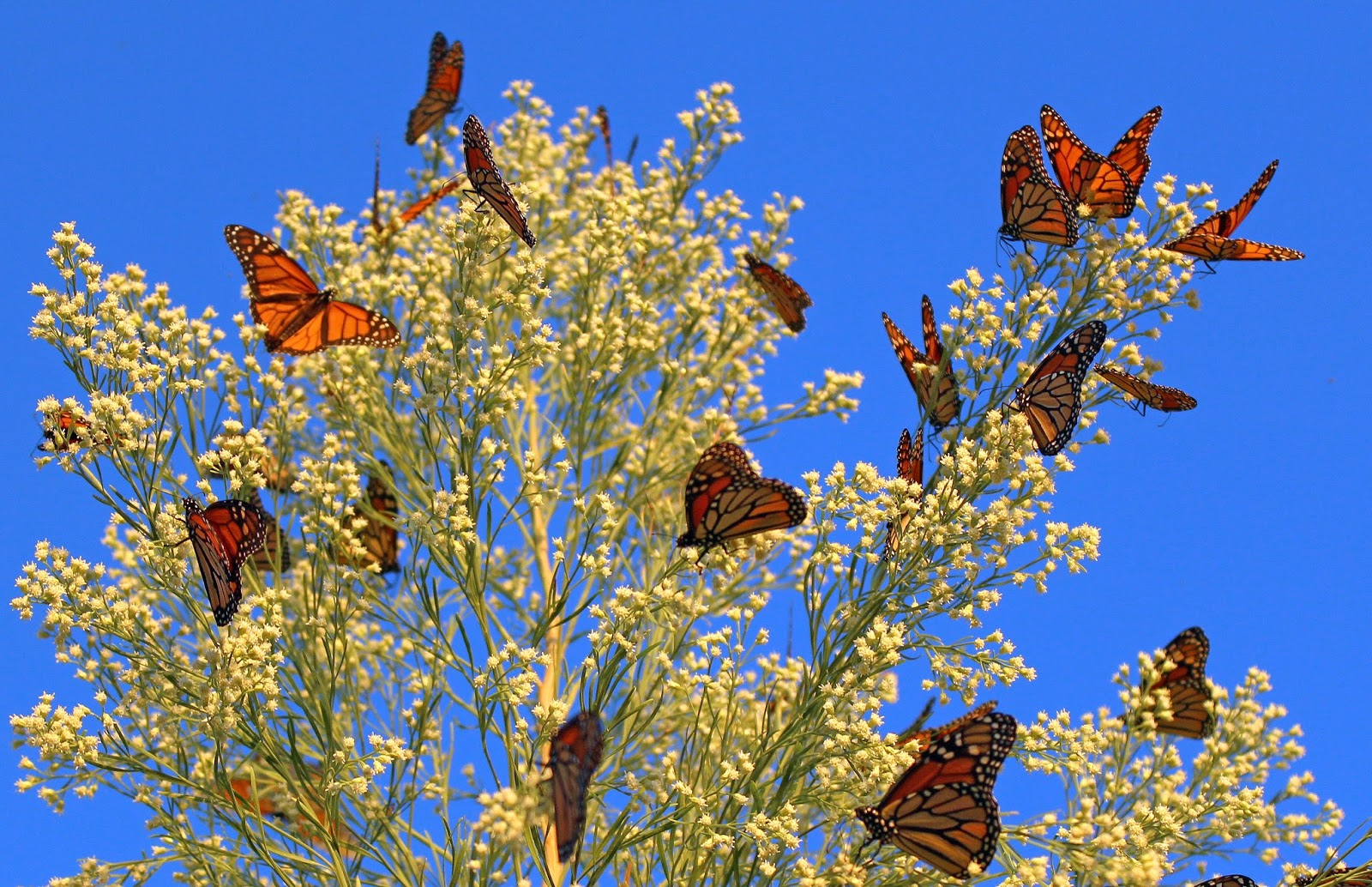 Monarch butterfly migration tree - photo#32