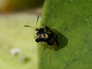 Casside tachetée - Deloyala guttata