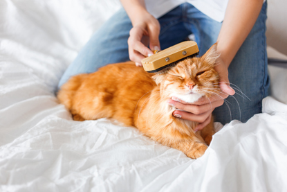 Grooming a ginger cat
