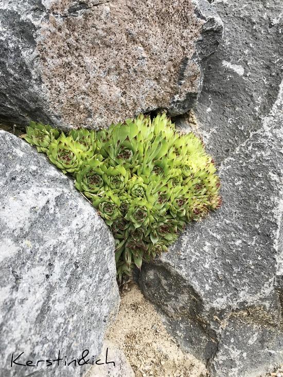 Sukkulenten Steinmauer