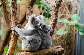 Kumpulan Gambar Hewan / Fauna di Australia