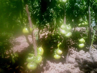 tomate ghittia cultivate in camp
