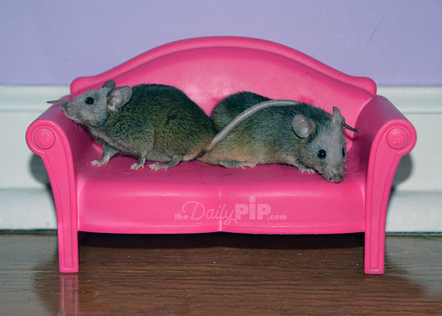 Two mice enjoy some time on their pink couch
