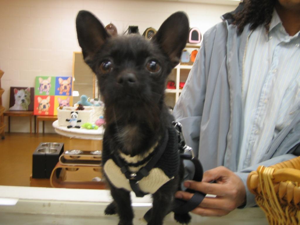 Venicepets Todays Customer Belvedere Boston Terriershihtzu Mix