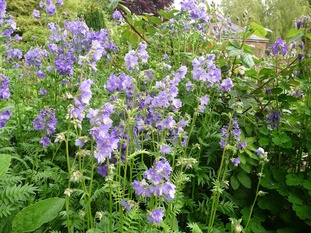 Attract Bees and Butterflies to your garden with Polemonium Caeruleum Jacobs Ladder