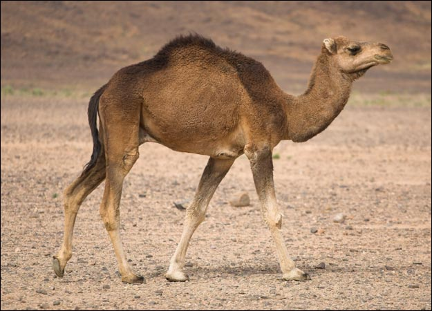 Camel | Facts and Nice Photos-Images | The Wildlife