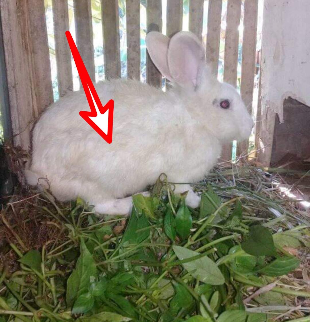 Ciri Ciri Kelinci Hamil Dilengkapi Gambar Dan Penjelasannya Hobinatang - Perkawinan Kelinci, Kelinci Fuzzy Loop Kampung Kelinci