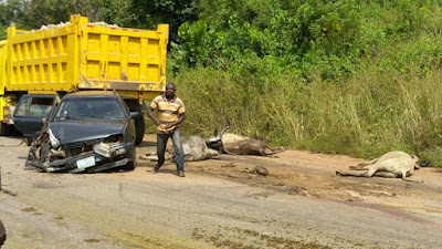 BLOOD EVERYWHERE!!! BRUTAL DETAILS OF HOW TRUCK INJURED FULANI HERDSMN, CRUSHED 15 COWS TO DEATH IN KOGI STATE (GRAPHIC PHOTOS)