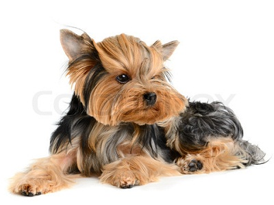 Cute Dogs Pets Yorkshire Terrier Pictures