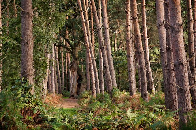 Norfolk woodland at Oxburgh Hall filled with pine trees