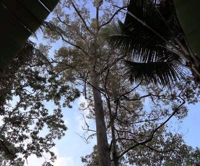 Pohon Durian merah Banyuwangi yang tingginya 150 meter.