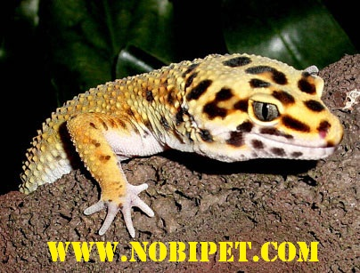Ban-bo-sat-canh-reptiles-than-lan-da-bao-leopard-Gecko-gia-re-tai-da-nang