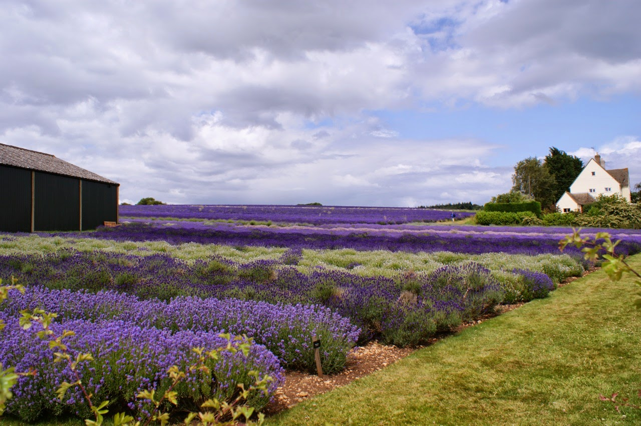 Lavender in the Cotswalds
