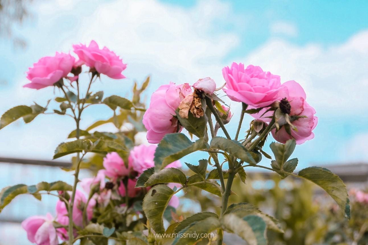 taman bunga di tawangmangu