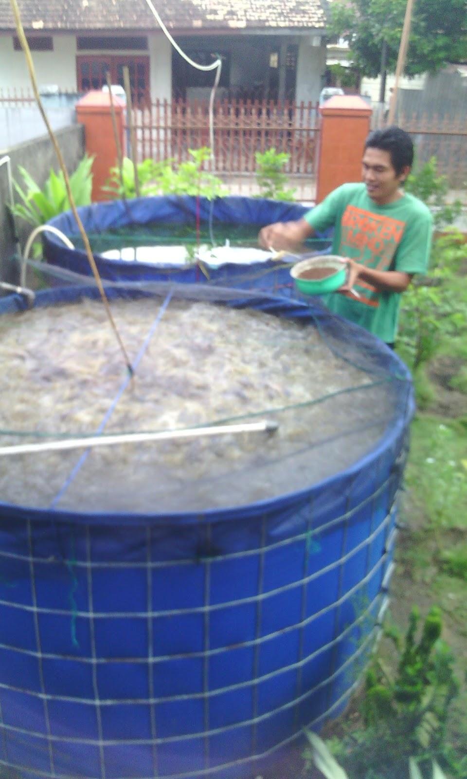 Budidaya Ikan Gurame Di Kolam Terpal : budidaya, gurame, kolam, terpal, Keunggulan, Kolam, Terpal, Bundar, Palembang