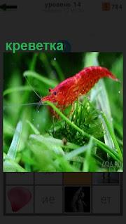 Среди водорослей под водой плавает красная креветка