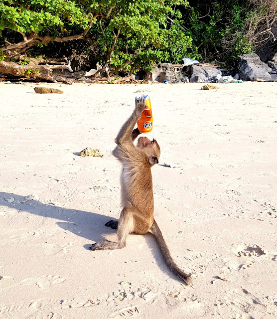 Monkey drinking orange fanta on a beach