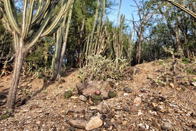 Bosque de cactus en Boca Chica