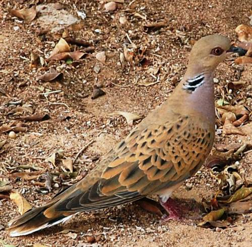 Birds of India - Photo of European turtle dove - Streptopelia turtur