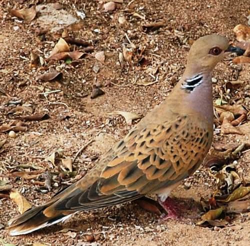 Birds of India - Photo of European turtle dove - Streptopelia turtur
