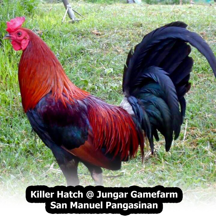 Gamefowl 101 - Everything You Want To Know About Gamefowls