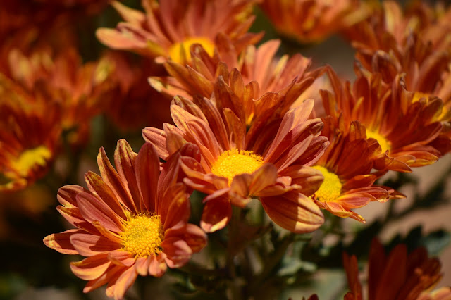 chrysantemums, small sunny garden, garden bloggers bloom day, amy myers, desert garden