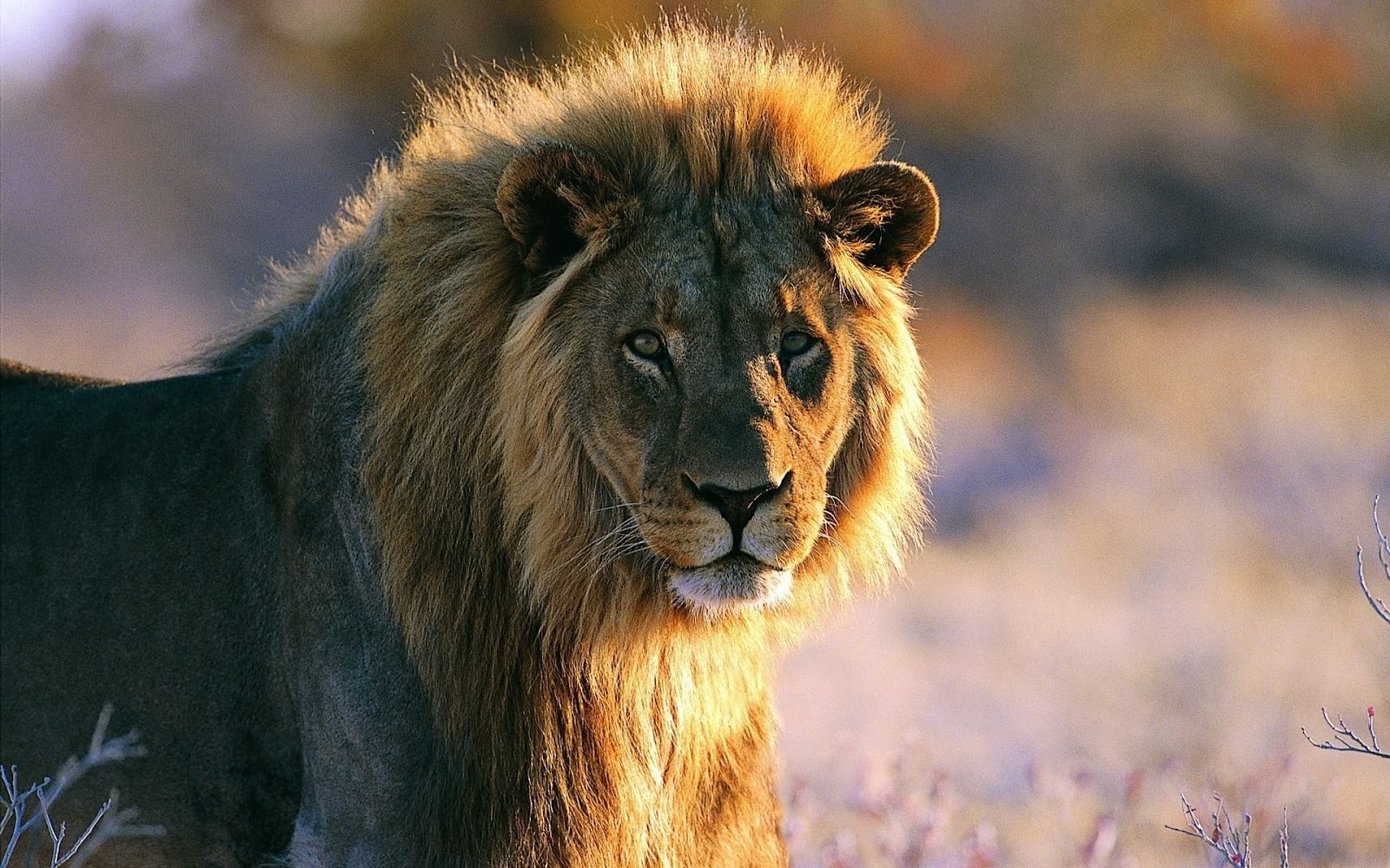 Hd wallpaper lion - Letest And Best Lion Hd Wallpapers Lion Desktop Backgrounds Photos In Hd Widescreen High Quality