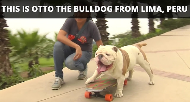Eine Bulldogge holt den Weltrekord im 'durch die Beine' skaten | Otto the skateboarding bulldog - Guinness World Records